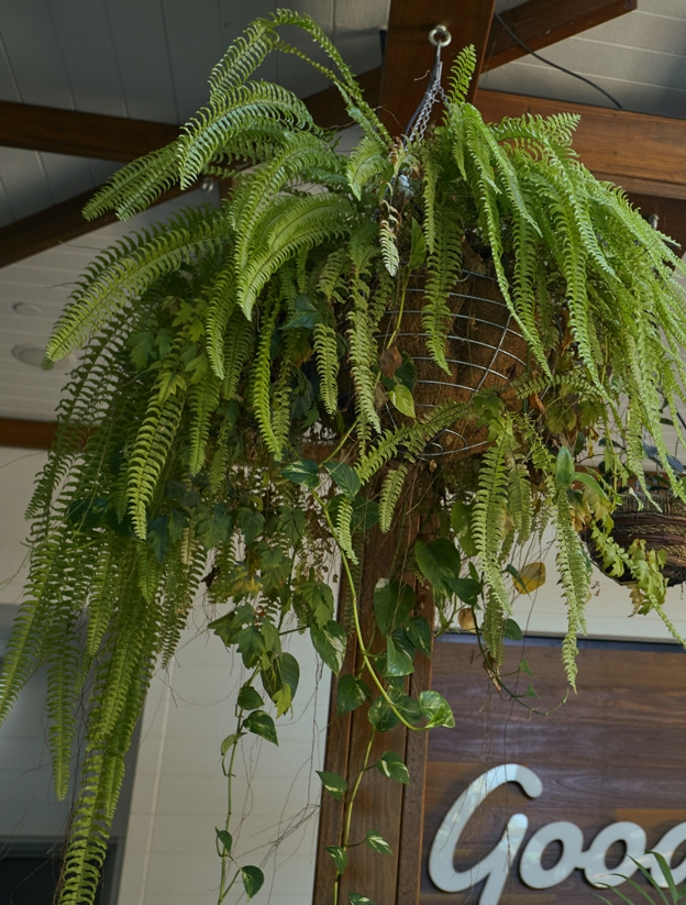 A trailing hanging plant outside of Goodlife health gyms in Brisbane.