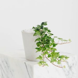 A close up of potted trailing ivy in a white planter, on a marble white pillar.