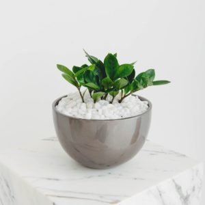 A close up professional photo of a small Zanzibar Gem in a round, shiny grey planter on a white marble pillar.